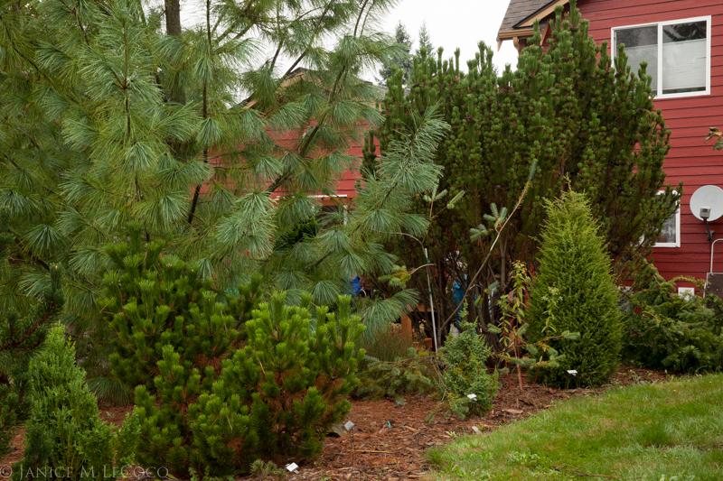 Pinus, foliage gardening