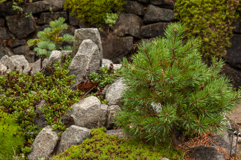 conifers, pine trees,