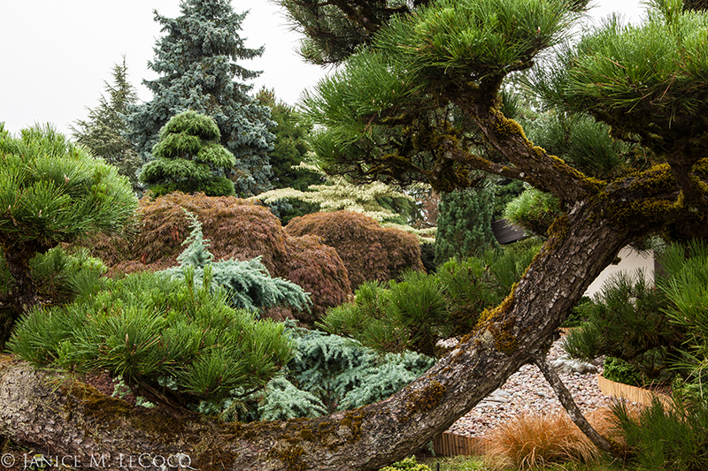 Sculpted pines, pines, evergreen foliage, colored foliage, Iseli Nursery