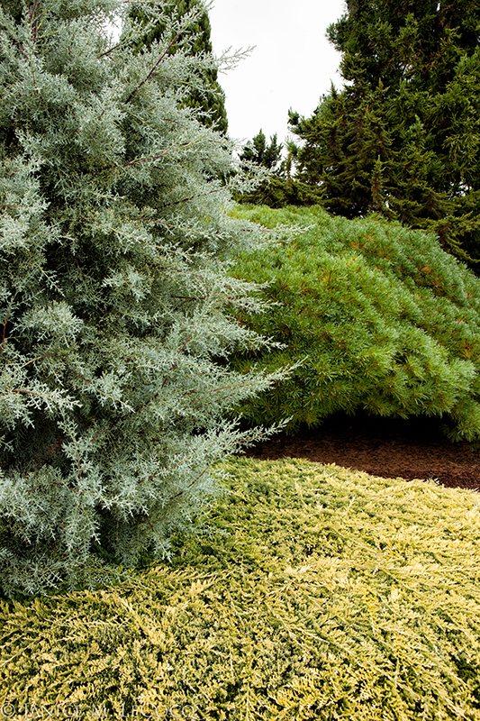 Iseli Nursery, colored foliage, conifers, pastel foliage