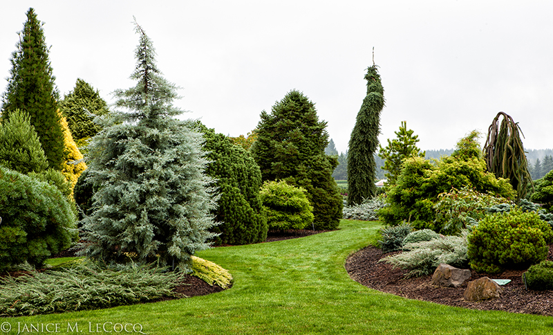 Iseli Nursery, conifers, colored foliage