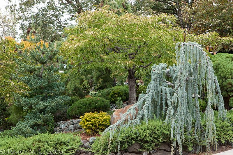 conifers, foliage garden, blue foliage, blue needles