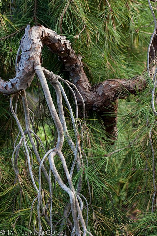 pine trees, conifers