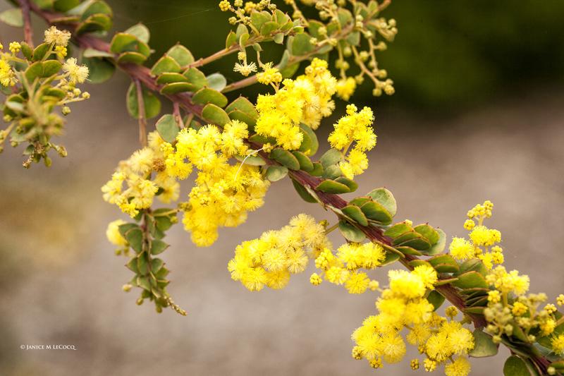 Acacia pravissima