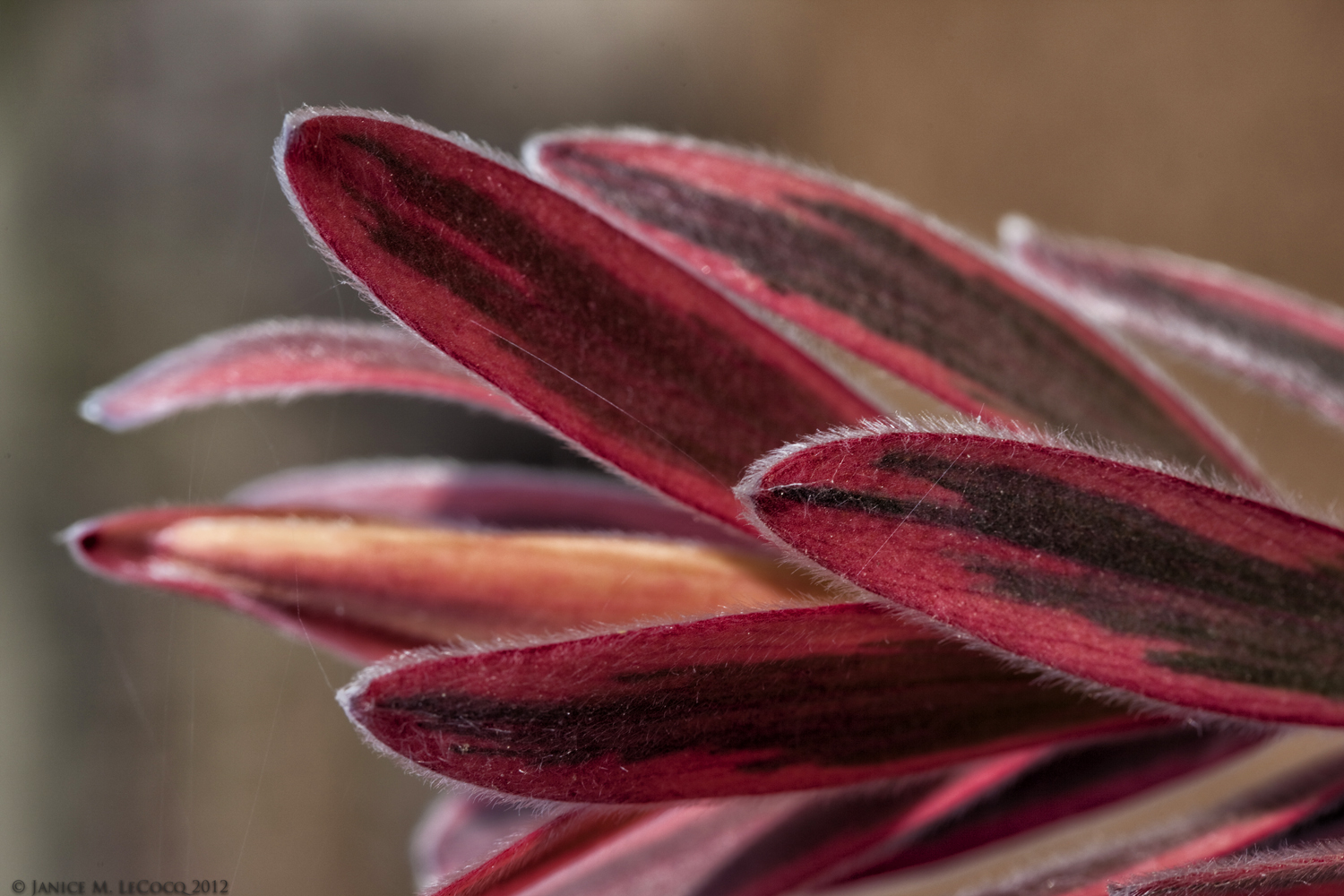 Leucadendron (Conebush) 'Jester' (syn 'Safari Sunshine') involucral leaves, or bracts