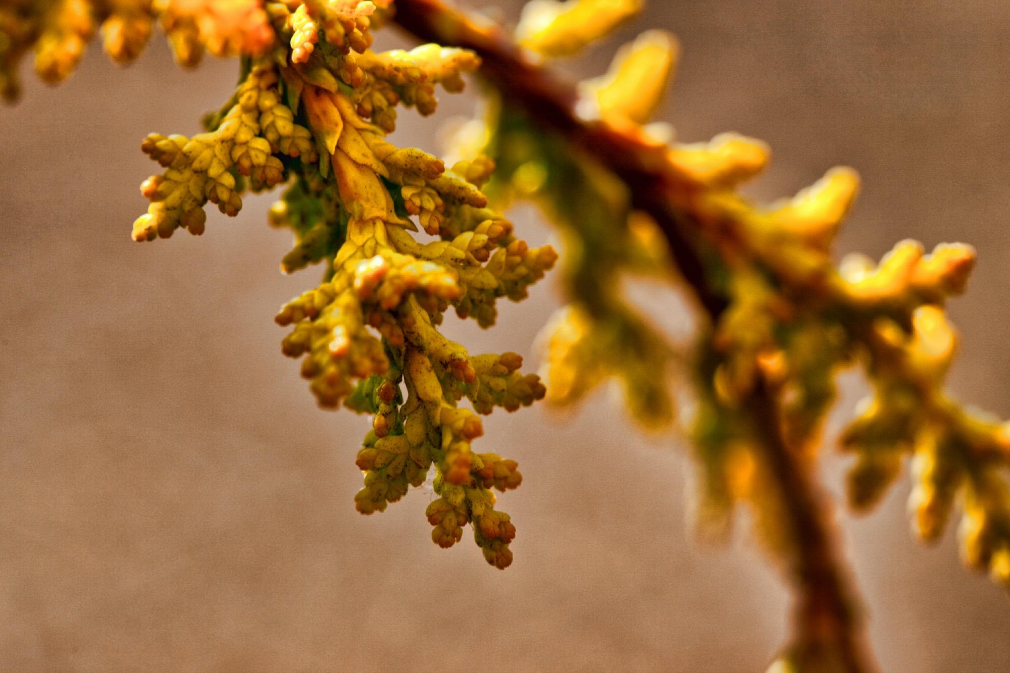Chamaecyparis obtusa (Hinoki False Cypress) 'Tetragona Aurea'