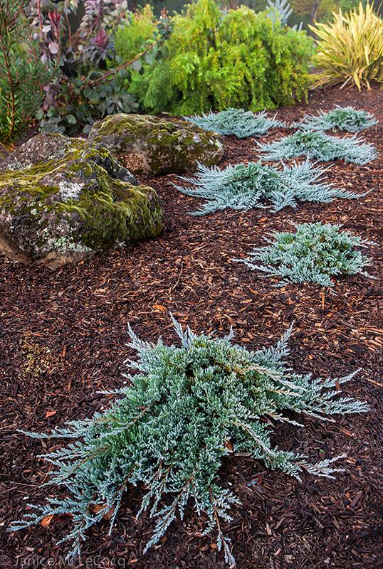 junipers, blue foliage, conifers