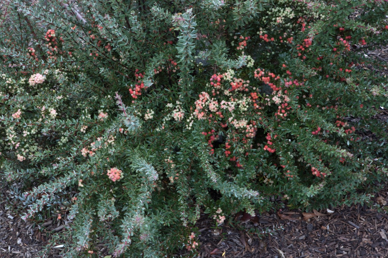 Berberis wilsoniae, Berberis wilsonii, ornamental berries