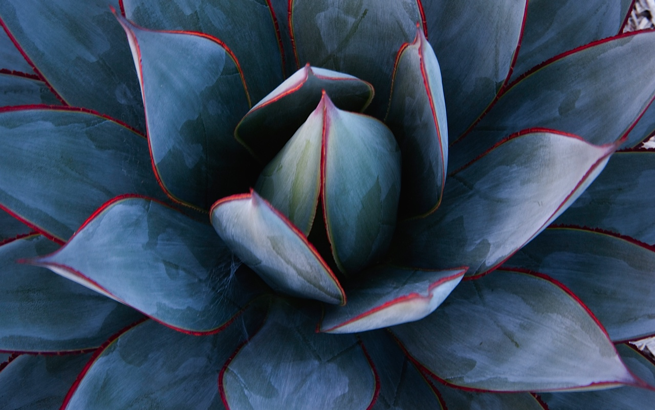 Agave 'Blue Glow' up close