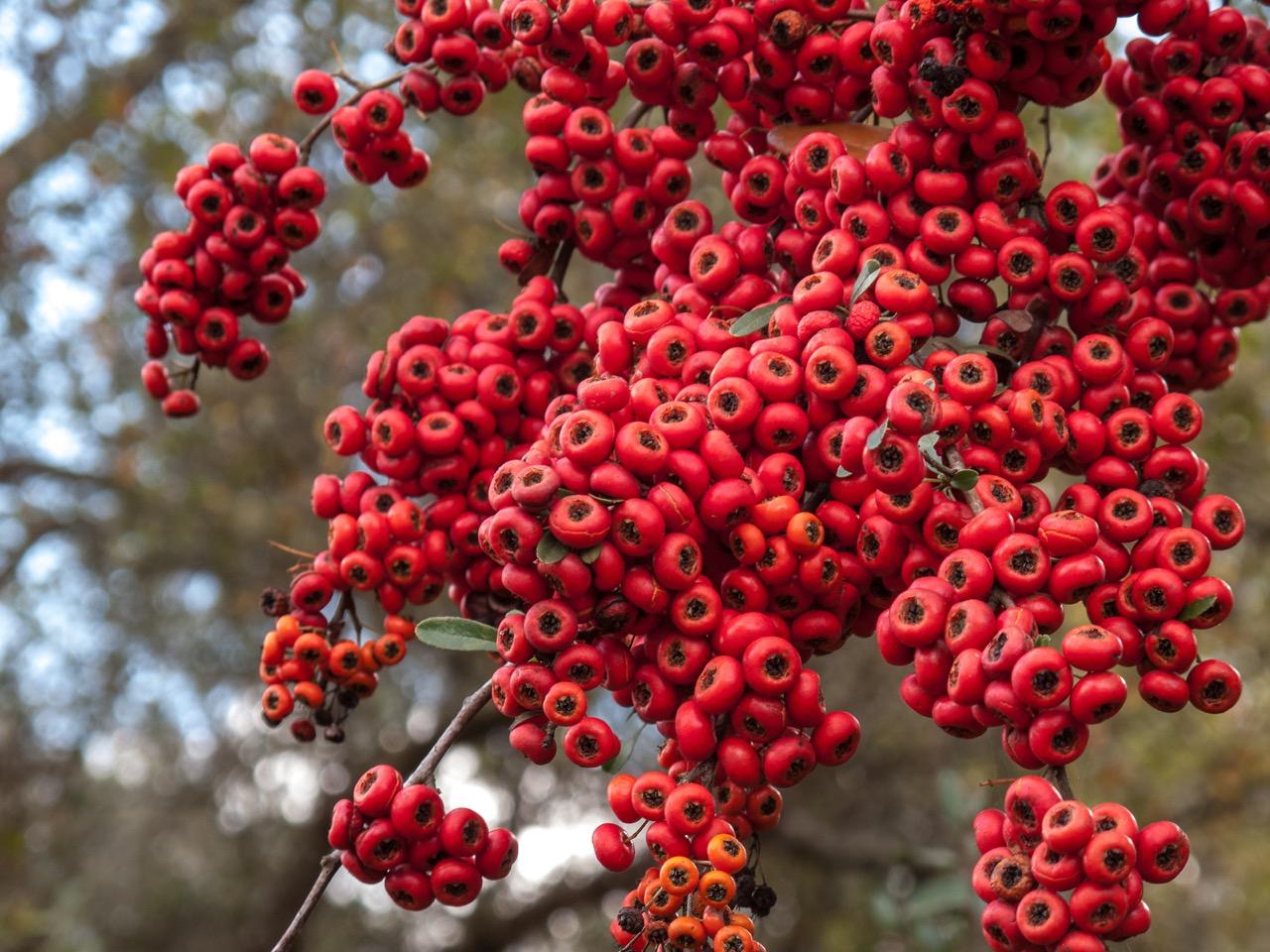 ornamental berries, foliage gardening