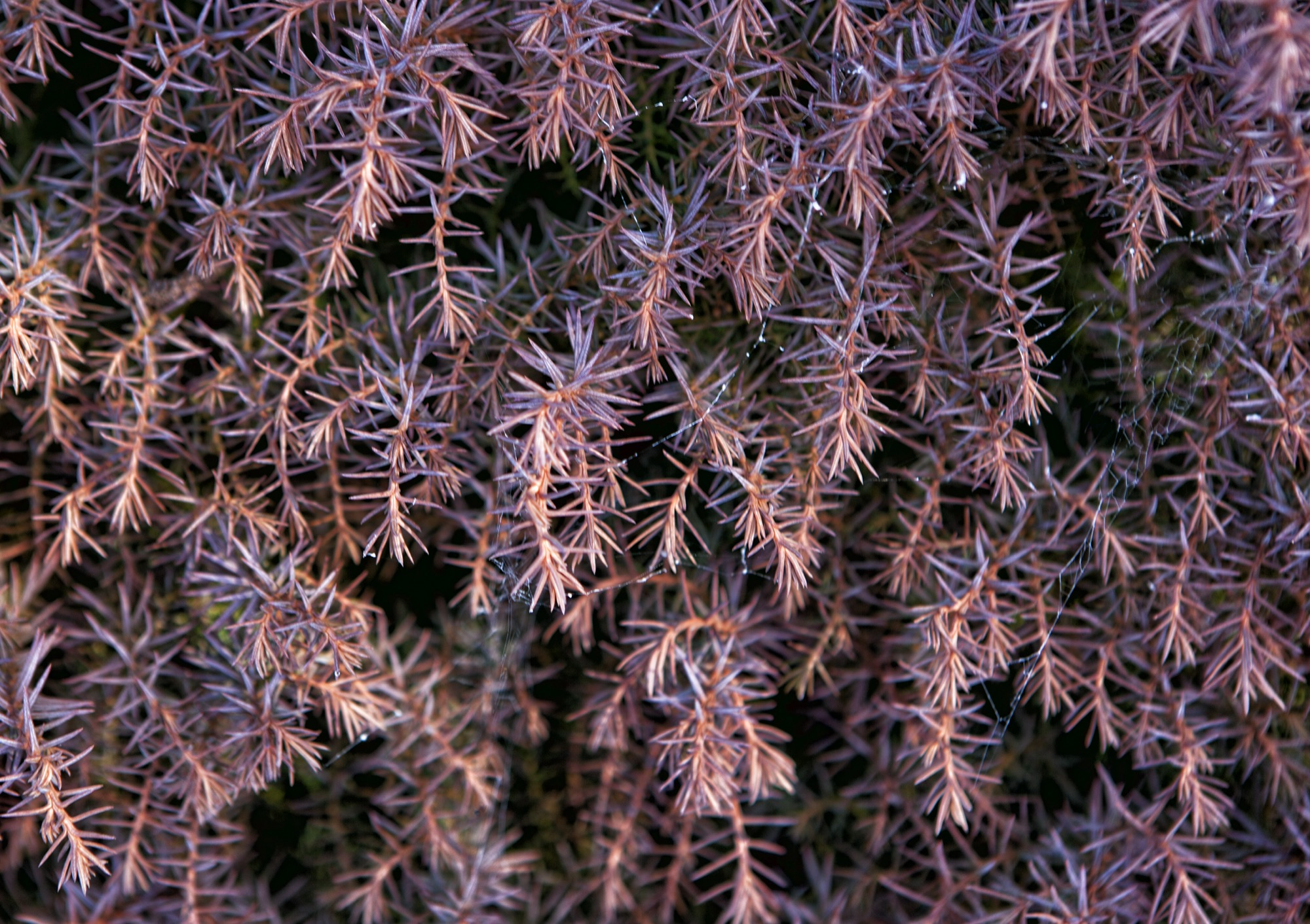 Cryptomeria japonica (Japanese Cedar) 'Mushroom'