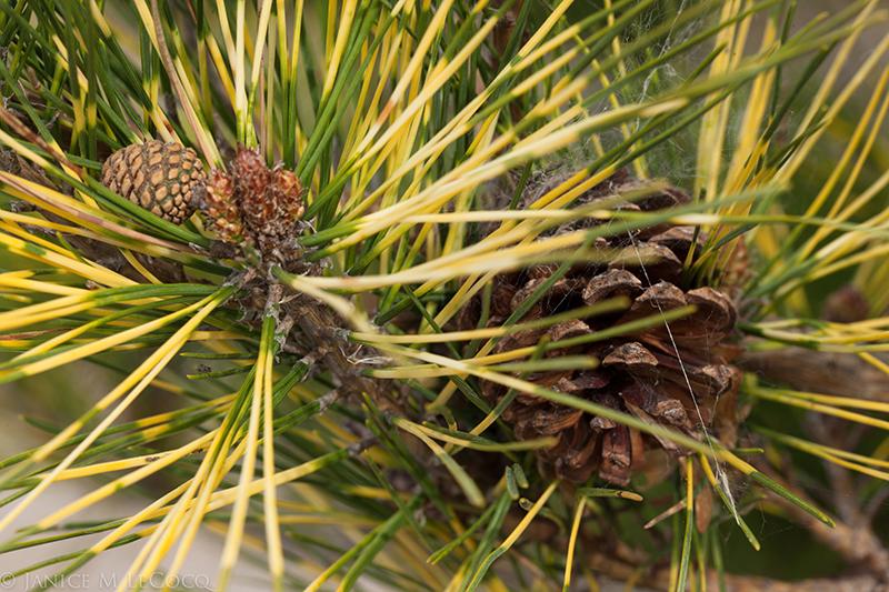 pine cone, pine cones