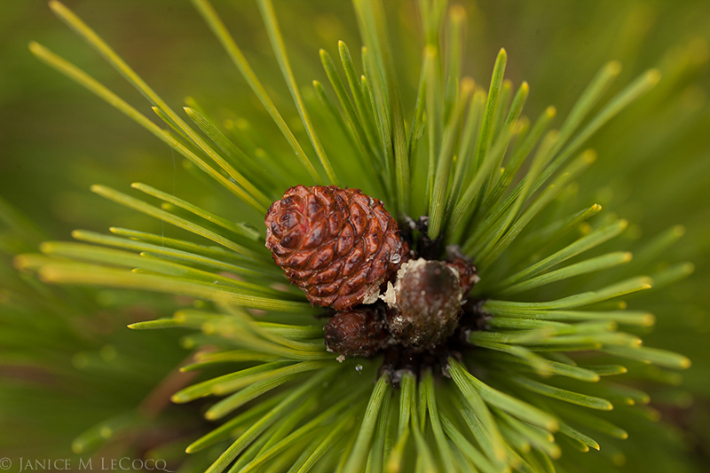 Like wooden scrimshaw, a baby cone of a mugo pine looks as if it is carved from one solid piece