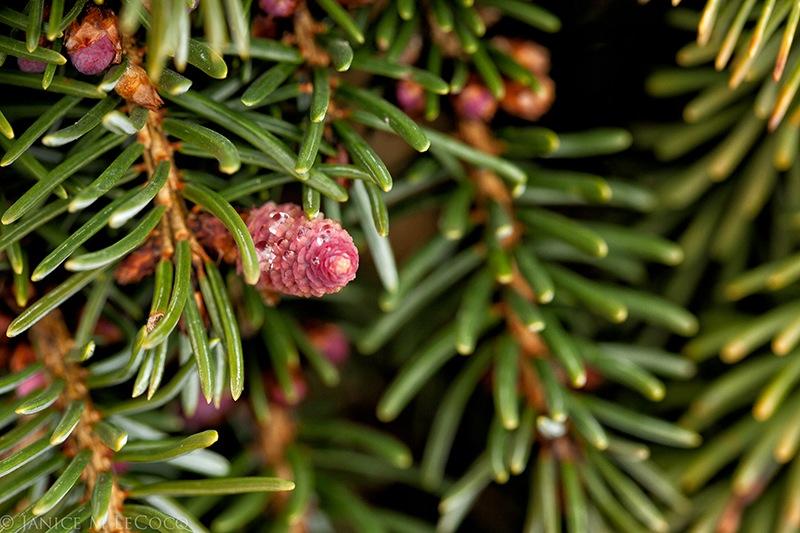 conifers, colorful cones