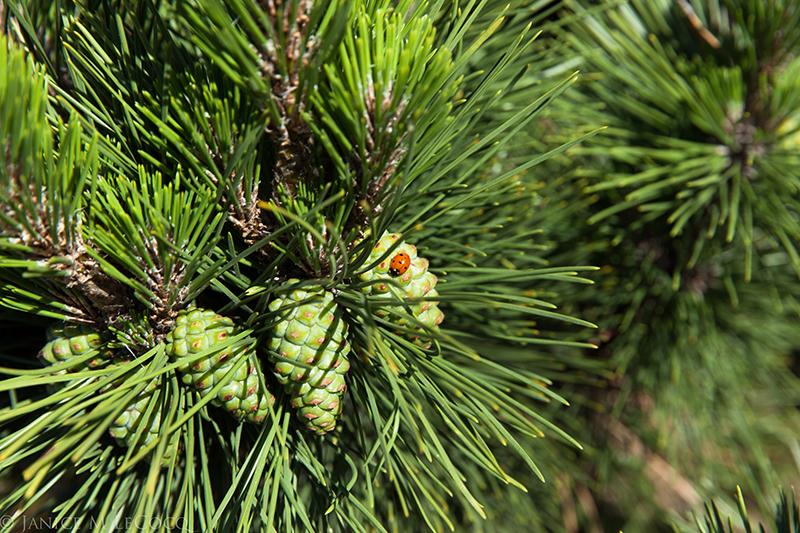 Japanese black pine 'Thunderhead'