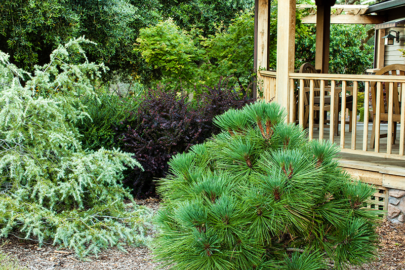 conifers, California native plants