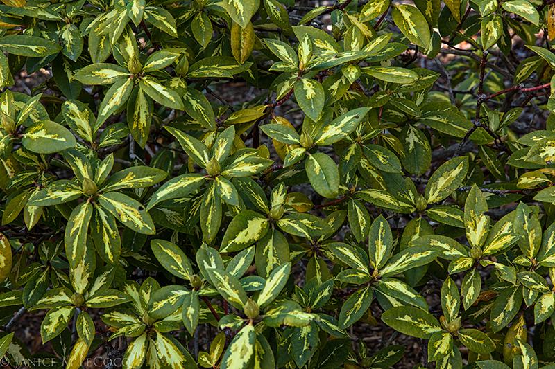 variegated foliage, evergreen shrubs