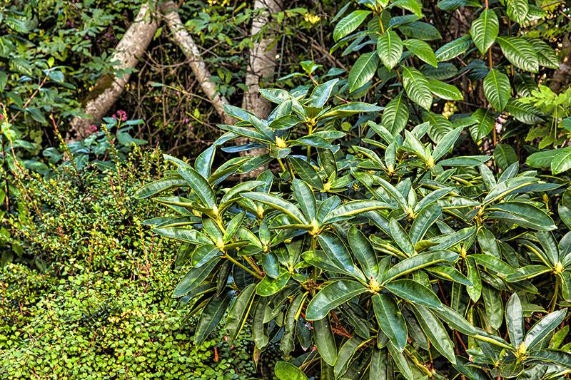 Rhododendron, Mendocino Botanical Gardens