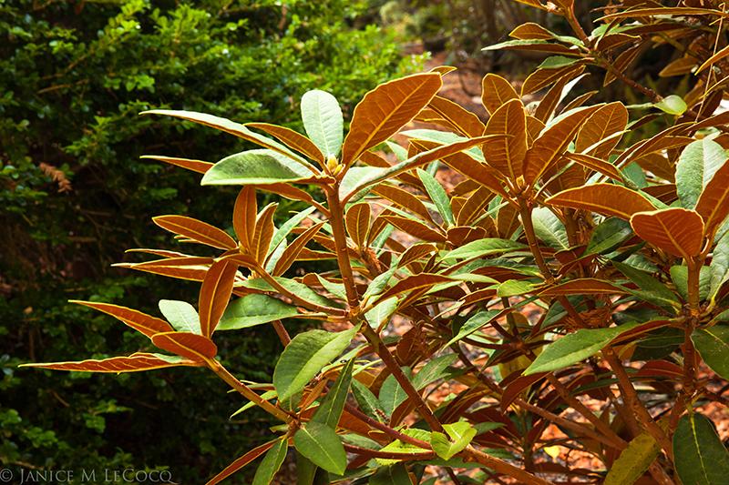 3.Rhododendron yakushimanum x 'Sir Charles Lemon'