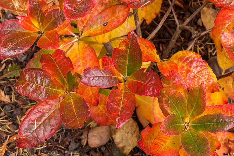 Azalea 'Washington State Centennial', deciduous shrubs, fall color