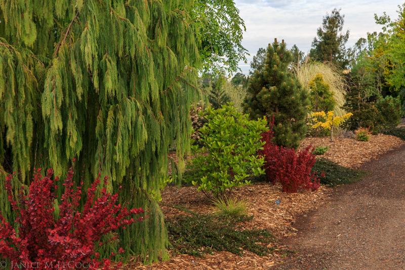 foliage gardening, conifers