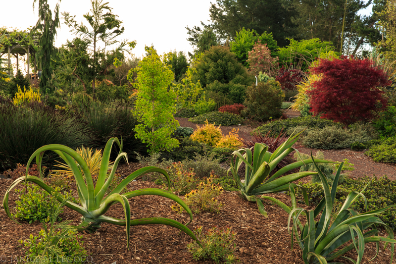 conifers, succulents, agave vilmoriniana