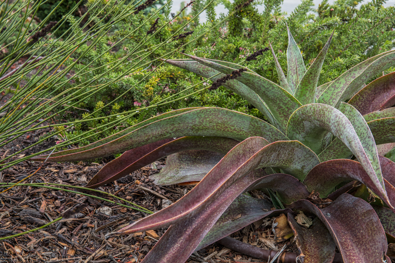 Mangave 'Macho Mocha' is one of the few larger succulents with significant maroon coloration.