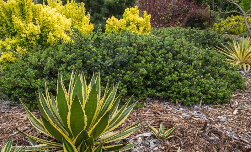 succulents, barberry, manzanita