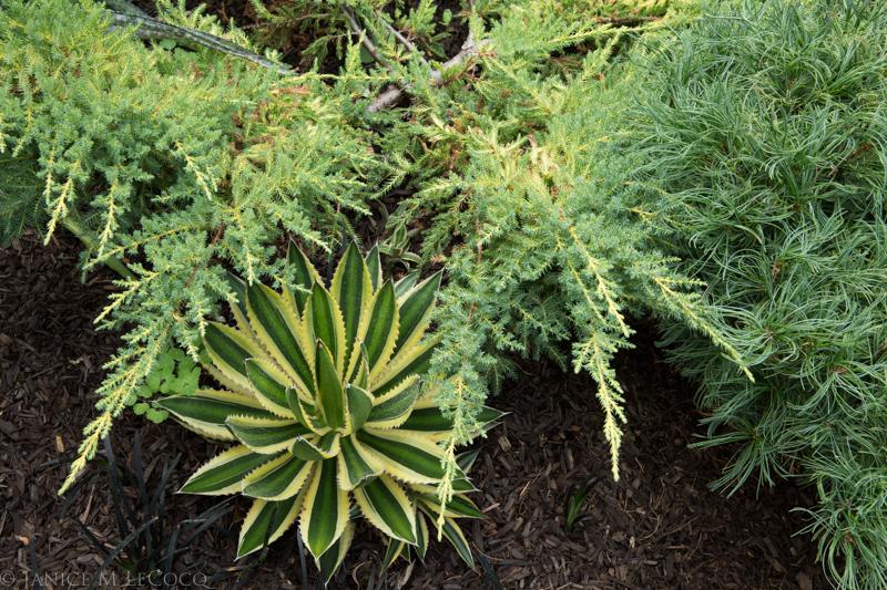conifers, succulents