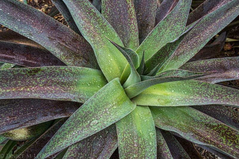 Mangave 'Macho Mocha', succulents, foliage gardening, garden photography