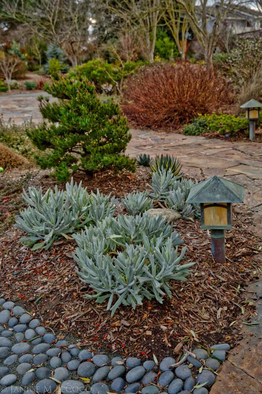 Senecio 'Staghorn', Pinus contorta 'Spaan's Dwarf', Spirea 'Goldmound', garden photography