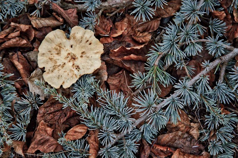 Cedrus atlantica 'Glauca Pendula', conifers, garden photography