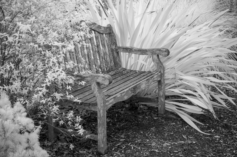 Phormium 'Dusky Chief', garden photography