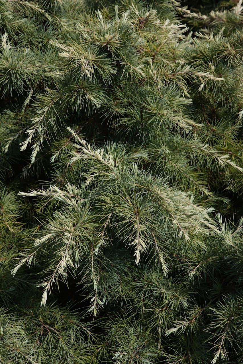 conifers, cedars