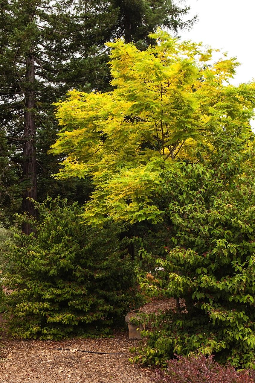 Robinia pseudoacacia 'Frisia' (golden locust)