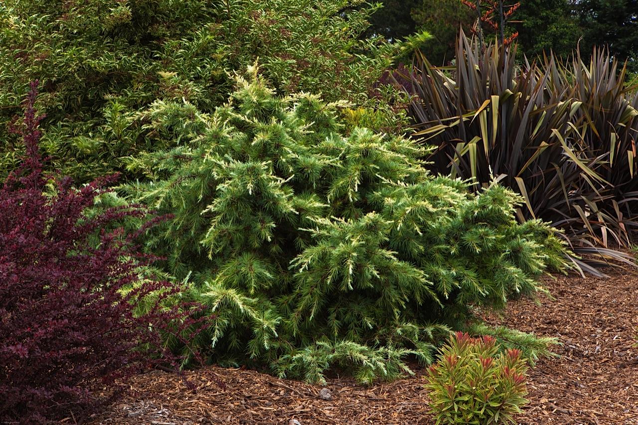 conifers, evergreen foliage