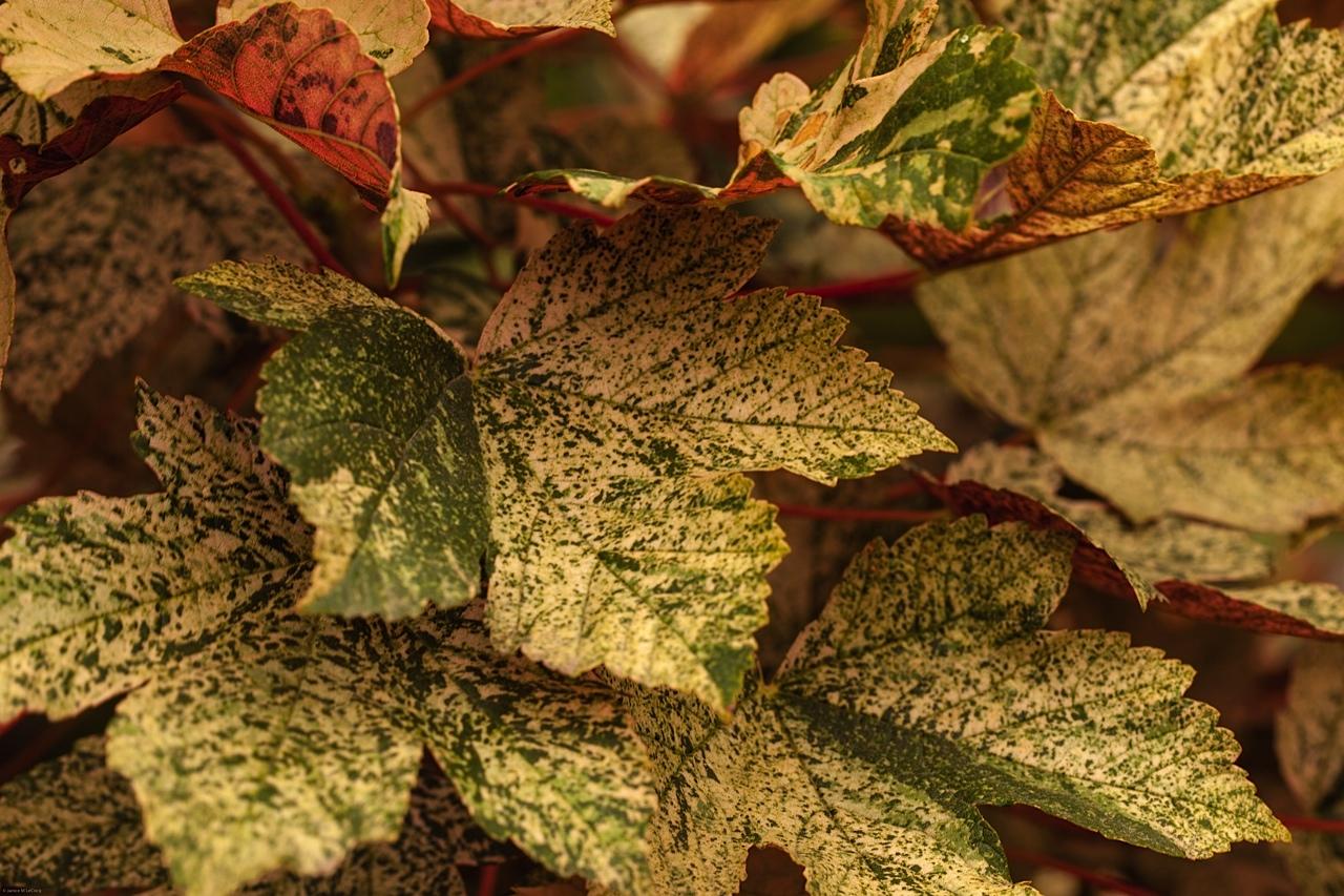colored foliage