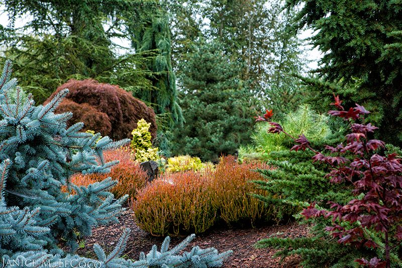 conifers and colored foliage