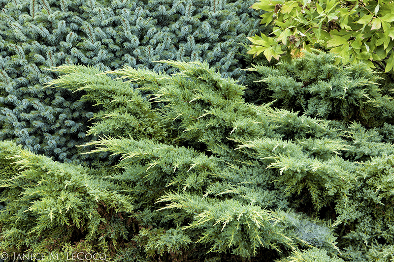 conifers, foliage plants, evergreen border