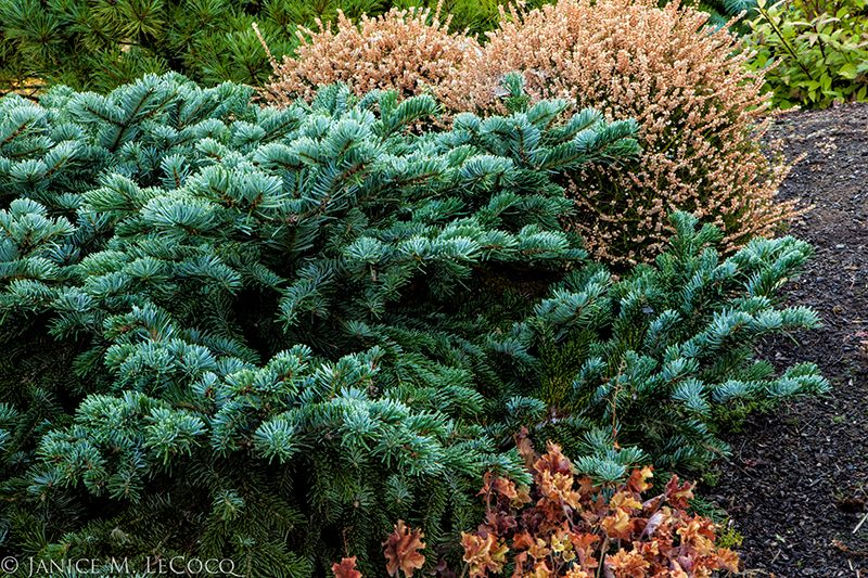 conifers, the oregon garden, Abies amabilis 'Spreading Star'
