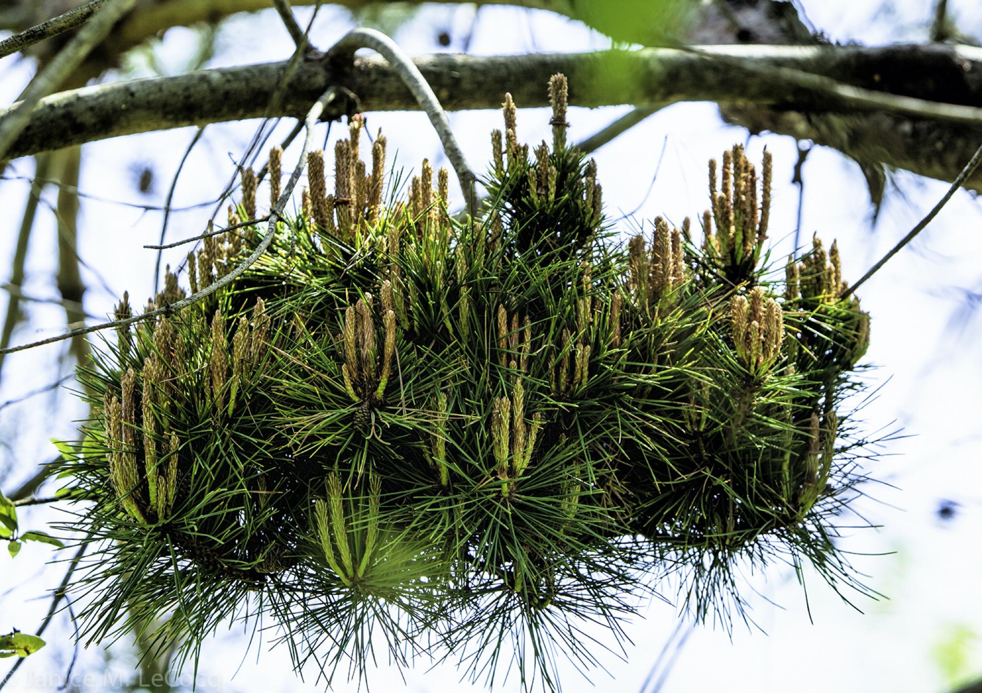 conifers, pine trees