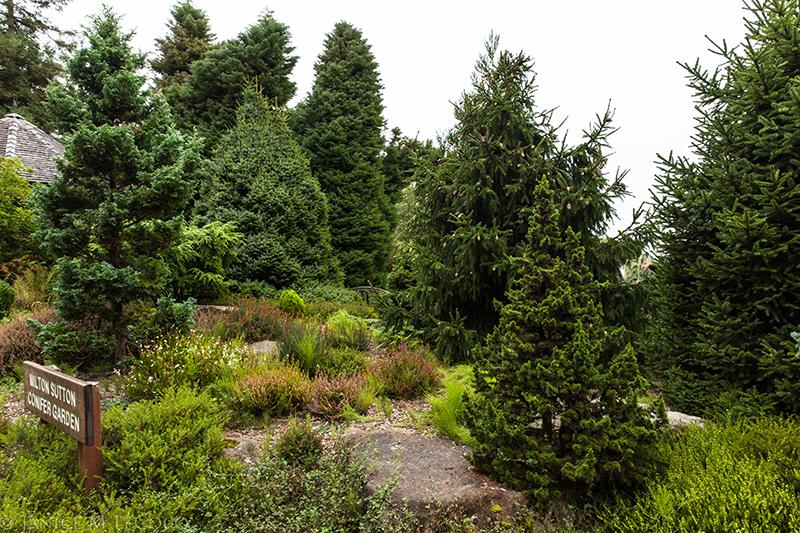 American Conifer Society, cryptomeria japonica