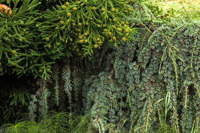 conifers, American conifer society, blue Atlas cedar