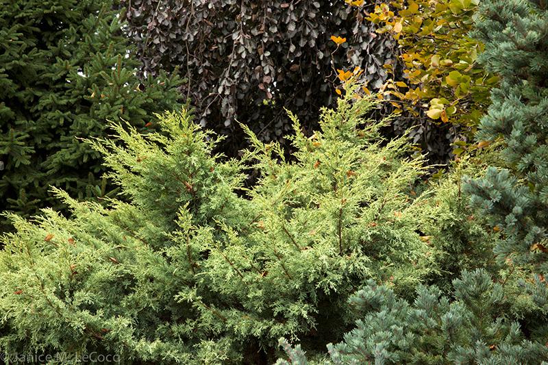 junipers, mixed foliage garden, evergreens
