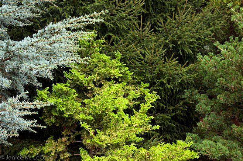 Cedrus atlantica 'Glauca', Chamaecyparis obtusa, Picea orientalis