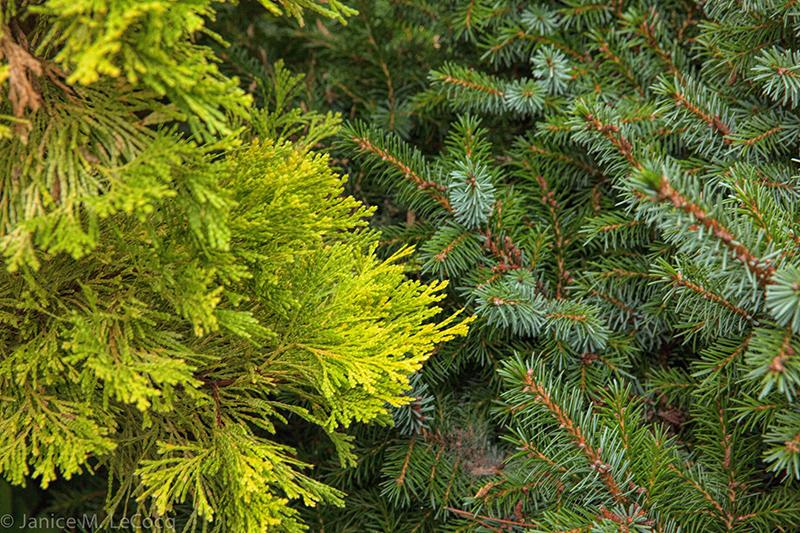 conifers, evergreens, foliage plants