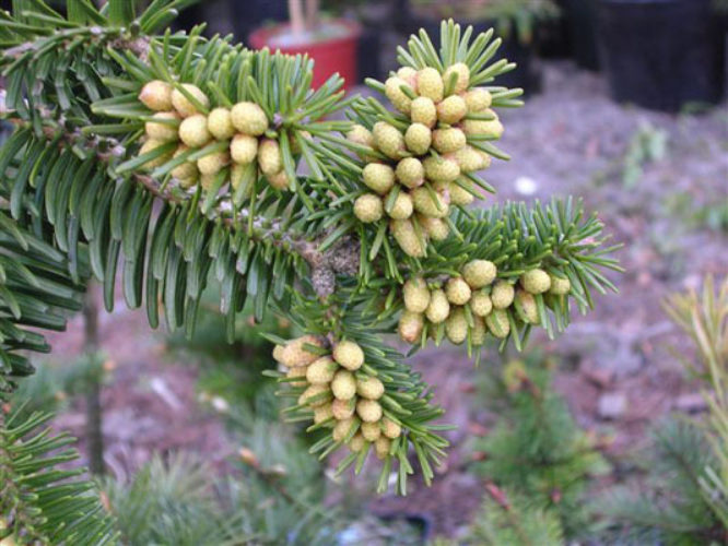 Abies X Vasconcellosiana Portuguese Hybrid Fir Conifer Species
