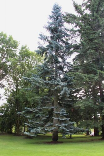 Abies Procera Noble Fir Conifer Species American Conifer Society