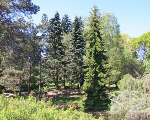 Abies Pinsapo Spanish Fir Conifer Species American Conifer Society