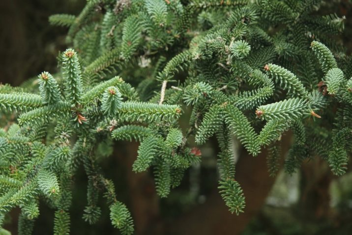 Abies Pinsapo Spanish Fir Conifer Species American Conifer Society